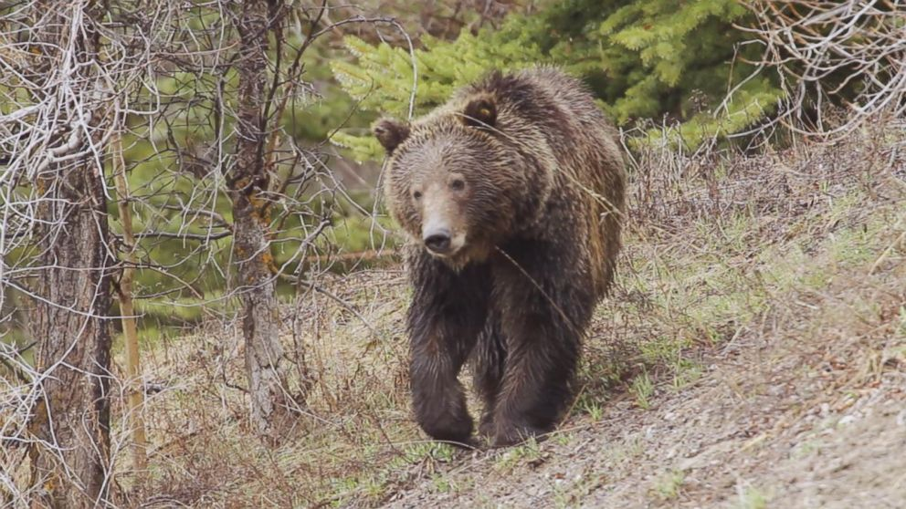 VIDEO: Man survives brown bear attack in Alaska