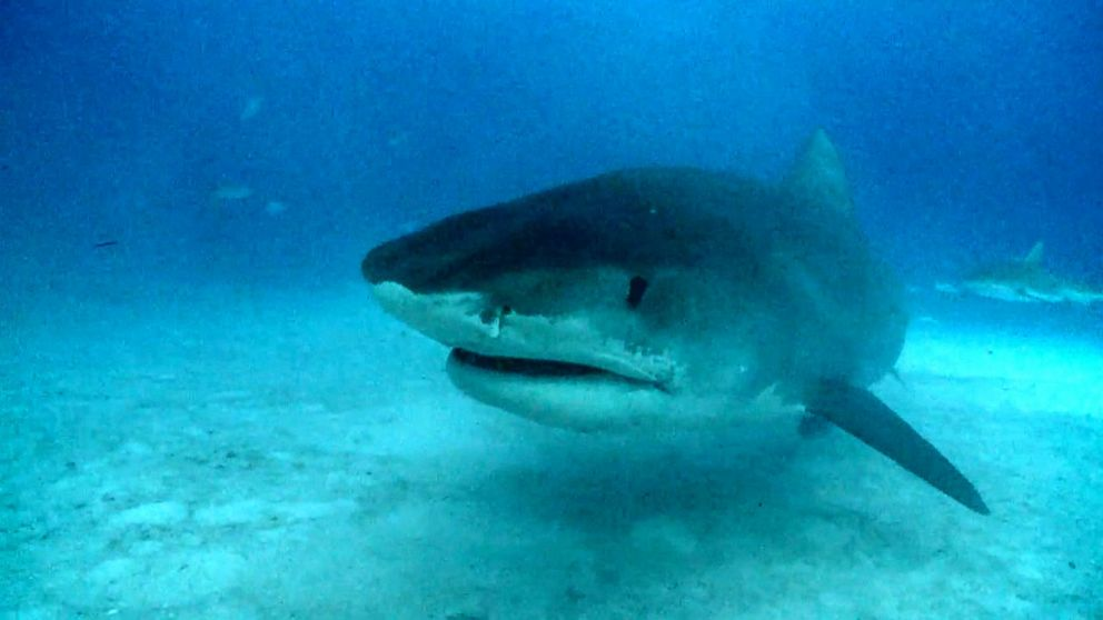 VIDEO: Experts warn of shark boom off Cape Cod