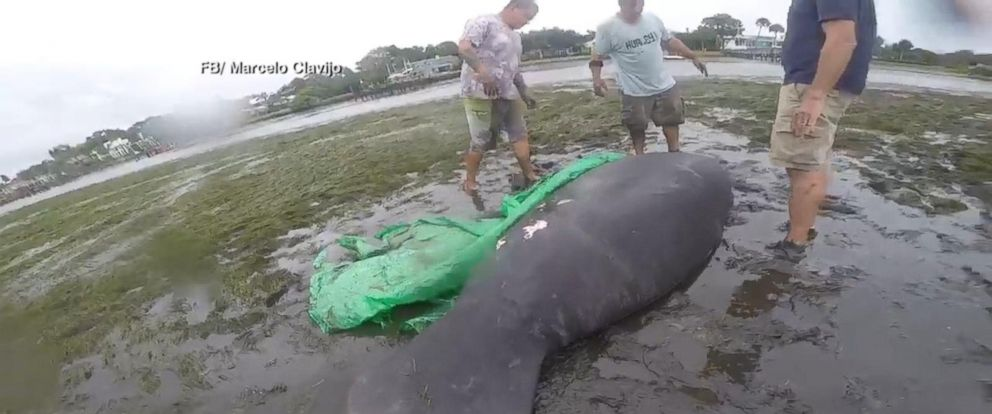 VIDEO: 2 manatees rescued after Irma drains Florida bay
