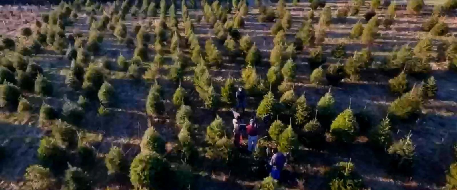 VIDEO: Christmas tree shortage expected to increase prices