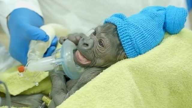 VIDEO: Imani, 18, gave birth to a baby girl at the San Diego Zoos veterinary hospital.