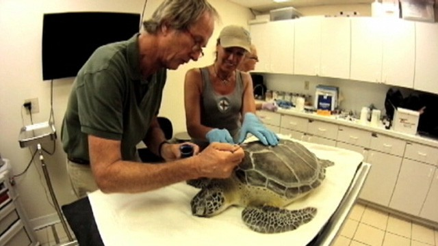 VIDEO: Dr. Fred Troxel used denture glue to repair a 40-pound sea turtles fractured shell.