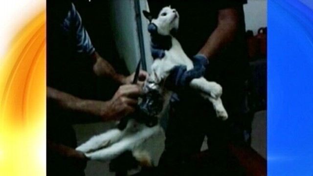 VIDEO: The cat was found near a jail in Brazil with drill bits, phone taped to its body.