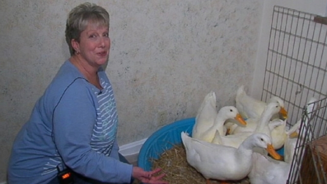 VIDEO: Terri Hopton's newest roommates are eight Peking ducks happy to escape the bitter cold.