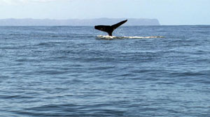 PHOTO A humpback whale shows off its tale in the waters off Kauai, Hawaii.