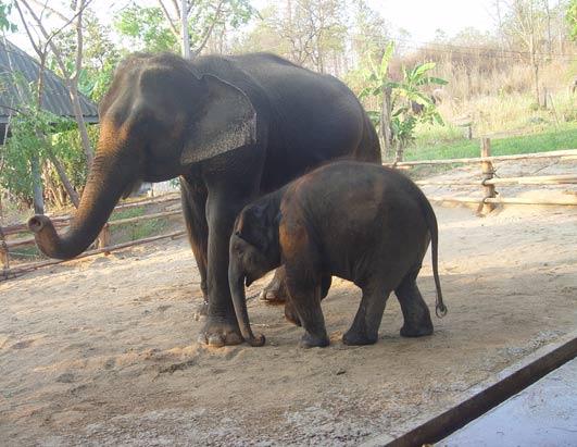 Mosha the baby elephant gets new leg