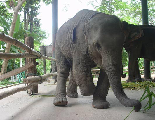 Mosha the baby elephant gets new leg