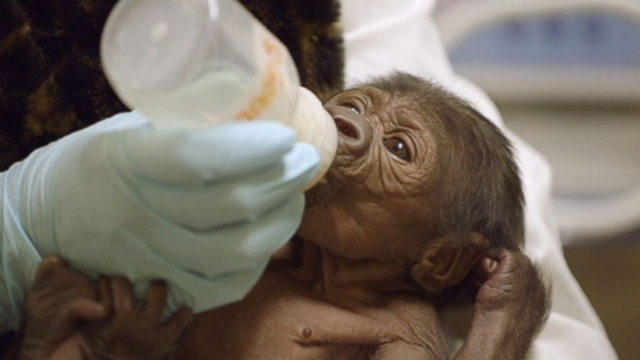 Eight-day-old gorilla is bottle-fed formula by her caregivers at the San Diego Zoo Safari Park.