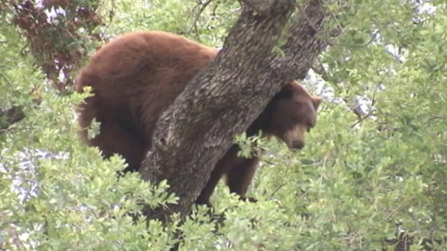VIDEO: Officials say bears were likely searching for food after winter hibernation.
