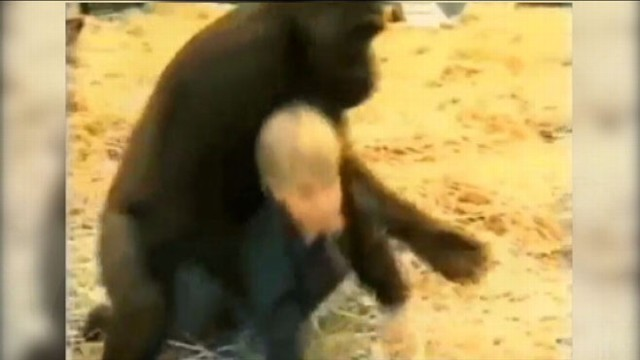 VIDEO: Video of a baby with 300 pound gorilla shocks some viewers.