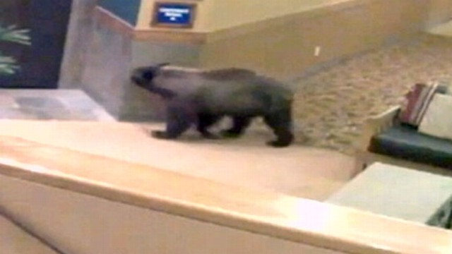 VIDEO: Bear Wanders Through New Mexico Resort