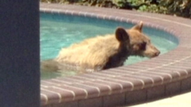 VIDEO: Bear Goes for Swim in Calif. Family?s Pool