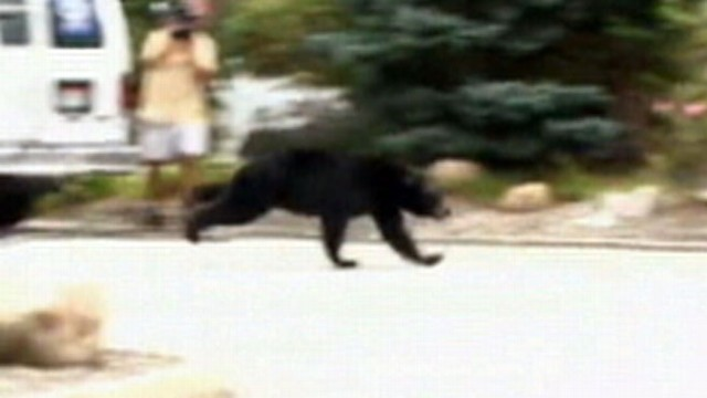 VIDEO: The bear escaped a trap and ran through an apartment complex.
