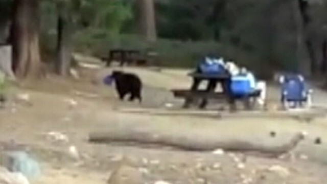 VIDEO: Bear Steals iPad, Returns for Food