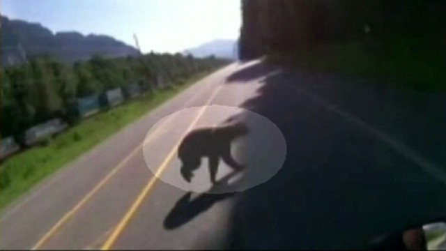 GMA VIDEO: Motorcyclist and Black Bear Collide