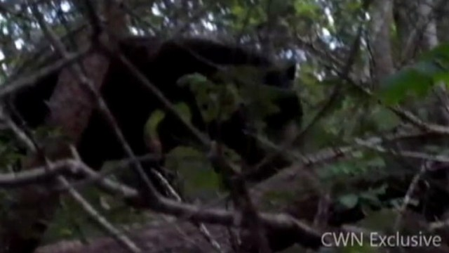 VIDEO: Cape Cod Bear Captured