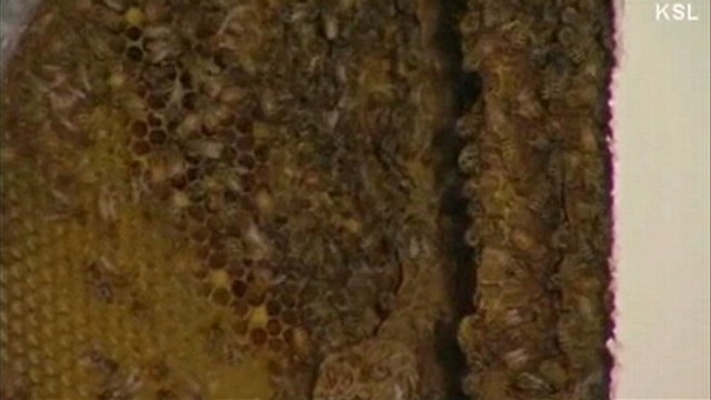 VIDEO: More than 50,000 bees were inside the walls of the Provo, Utah, home.