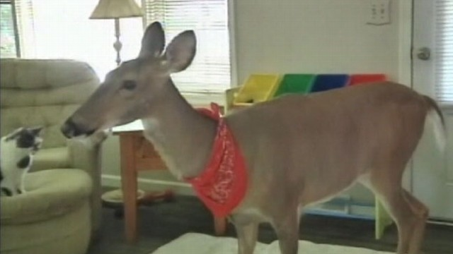 VIDEO: Lilly the deers owners say she is just like the family dog.