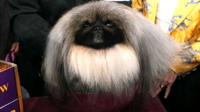 VIDEO: Malachy the pom-pom Pekingese was crowned top dog.