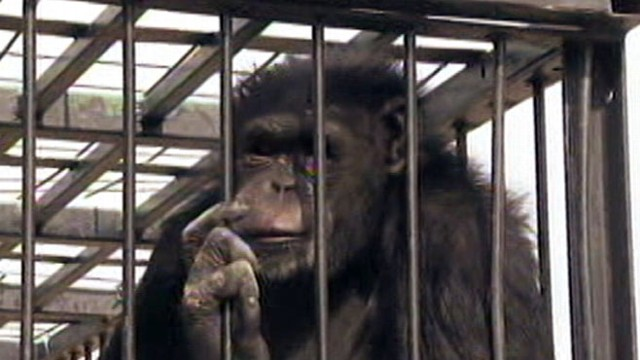 chimpanzee escapes cage in las vegas video abc news