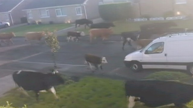 VIDEO: Cows Stampede Through English Garden