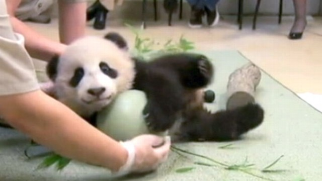 VIDEO: Baby Panda Has a Ball; Baby Raccoons Spotted