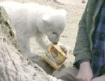 VIDEO: The life and times of the once-popular polar bear that captured imaginations.