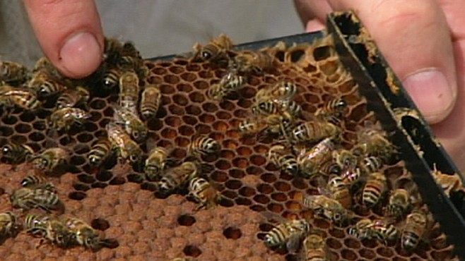 VIDEO: Honeybees in danger