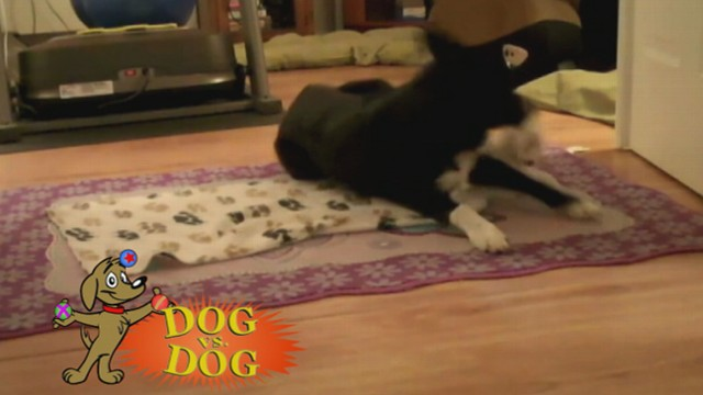 Video: Dog vs. Dog: Tissue Deliverer Takes on Blanket Swaddler