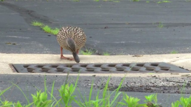 VIDEO: Ducklings Rescued From Manhole