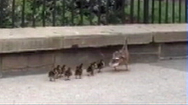 VIDEO: White House security guards reunited a mother duck with her babies.