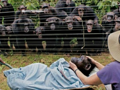 VIDEO: Chimps say goodbye to one of their own.