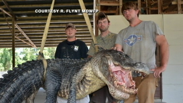 VIDEO: Beth Trammel and her family caught one of the largest gators in Mississippi history.