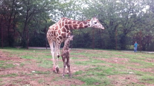 VIDEO: Pammy J, the baby giraffe, was born, took her first steps at Dickerson Park Zoo in Springfield, MO.