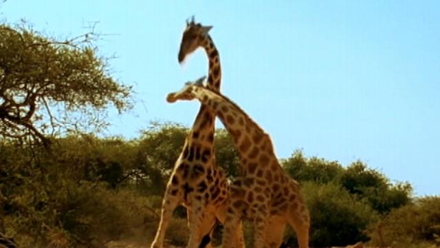 Giraffes Fighting Gif  Most Violent Giraffe Fight