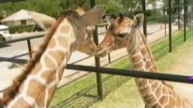 VIDEO: Twin Baby Giraffes Born at Texas Wildlife Ranch