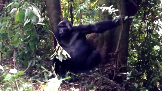 VIDEO: Gorilla Gets Close, Kisses Man on Face