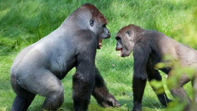 VIDEO: Kesho and Alf had not seen each other for nearly three years before their reunion at the Longleat Safari Park in England.