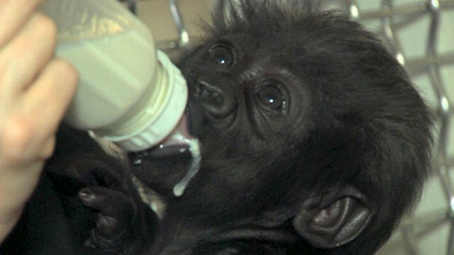 VIDEO: Baby Gorilla Being Raised by Human Moms
