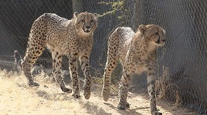 VIDEO: A real Catwoman saves cheetahs by raising them in her backyard.