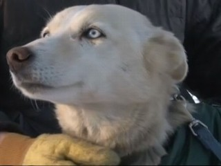 Watch: Iditarod Race 2013: Missing Sled Dog Found