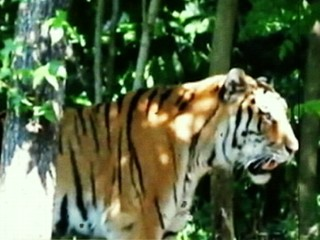 Watch: Man Jumps in Tiger Cage from Monorail at Bronx Zoo