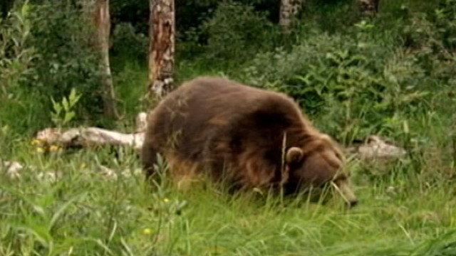 VIDEO: Rangers are now searching for the grizzly bear that mauled John Wallace, 59.