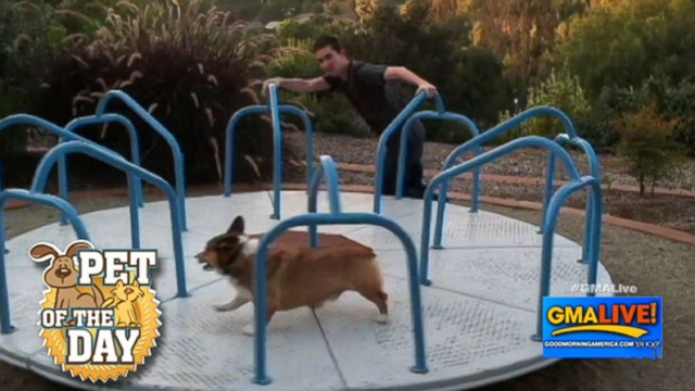 VIDEO: Cute Corgi Loves to Play on Carousel