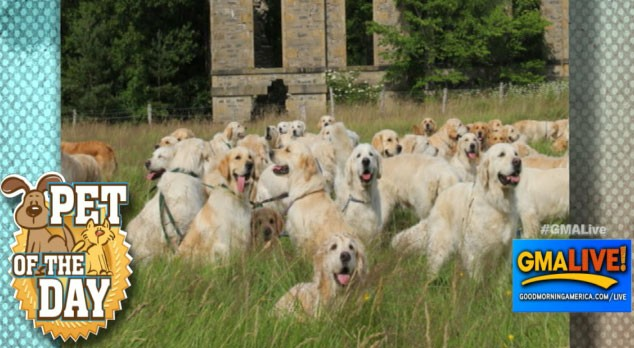 VIDEO: 222 Golden Retrievers Gather in Scotland