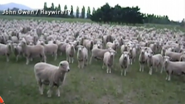VIDEO: These New Zealand Sheep Love a Good Protest