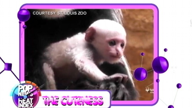 VIDEO: Kivuli, the cute baby colobus monkey can now be seen by visitors at the St. Louis Zoo.