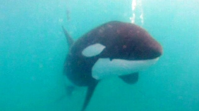 VIDEO: Rescuers Free Tangled Orca Whale