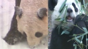 VIDEO: Pandas Fly Back to China