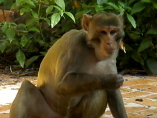 Watch: 'Mystery Monkey' Caught After Three Years